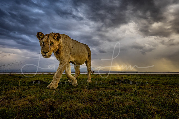 Young Male lion on the prowl