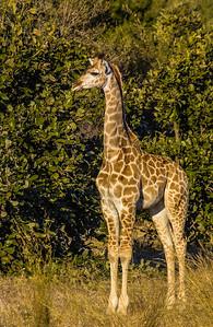 Young Giraffe Poses