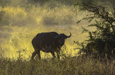 Wary Cape Buffalo