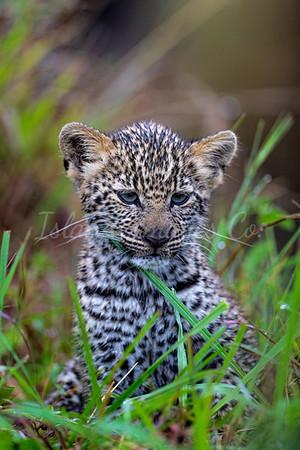 Baby Leopard portrait