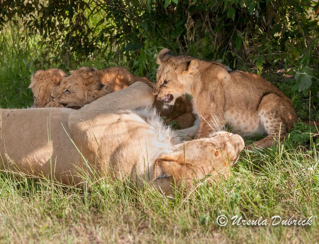 Lion cub wanting to nurse