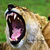 The Lion Roar