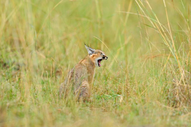 Caracal (Caracal caracal) sitting in the grasses during rains in Masai Mara, Kenya