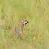Caracal (Caracal caracal) sitting in the grasses during rains in Masai Mara, Kenya