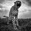 Full Cheetah Yawn bnw