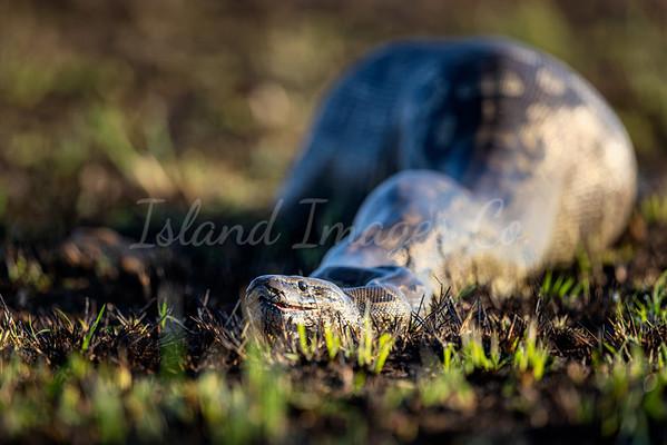 Rock python 2