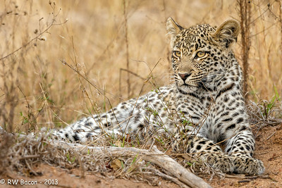 Scotia's Cub resting in a typical bushveldt setting.  About 8 months old, gender unknown.  Kirkman's Kamp, Sabi Sands, South Africa
