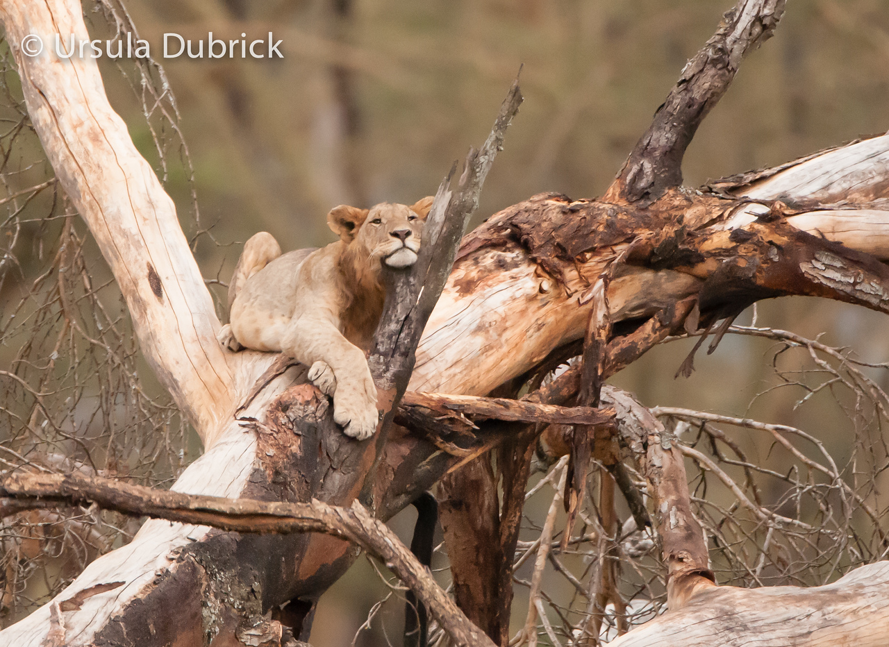 Young male lion - Relaxing in a tree - Kenya