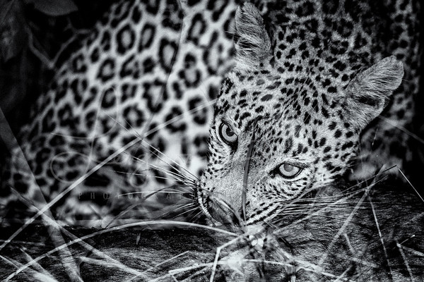 Leopard Meal Time