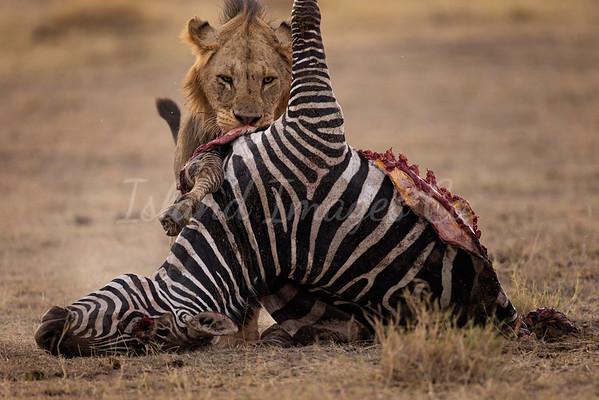 Lion Kill Amboseli