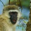 Verlvet Monkey Serengeti