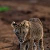 Lewa lion cub