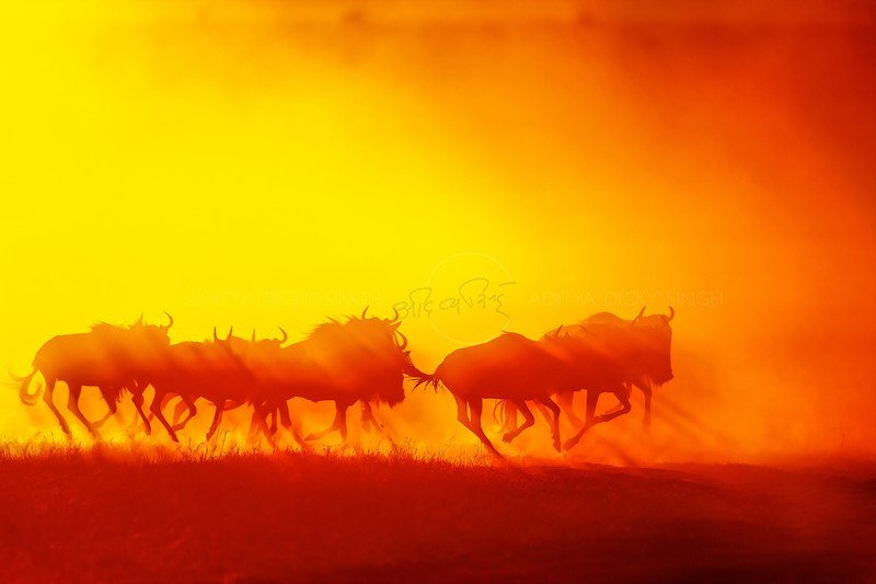 Silhouette of a running herd of Wildebeests throwing up dust at sunrise in Masai Mara Wildlife Refuge in Kenya