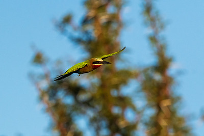 Cinnamon Chested Bee-Eater
