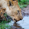Baby Lion Cubs-4