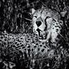 Cheetah bnw