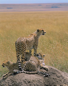 Kenya, Masai Mara National Reserve / Cheetah, Acinonyx jubatus, female with cubs atop termite mound. 804V2