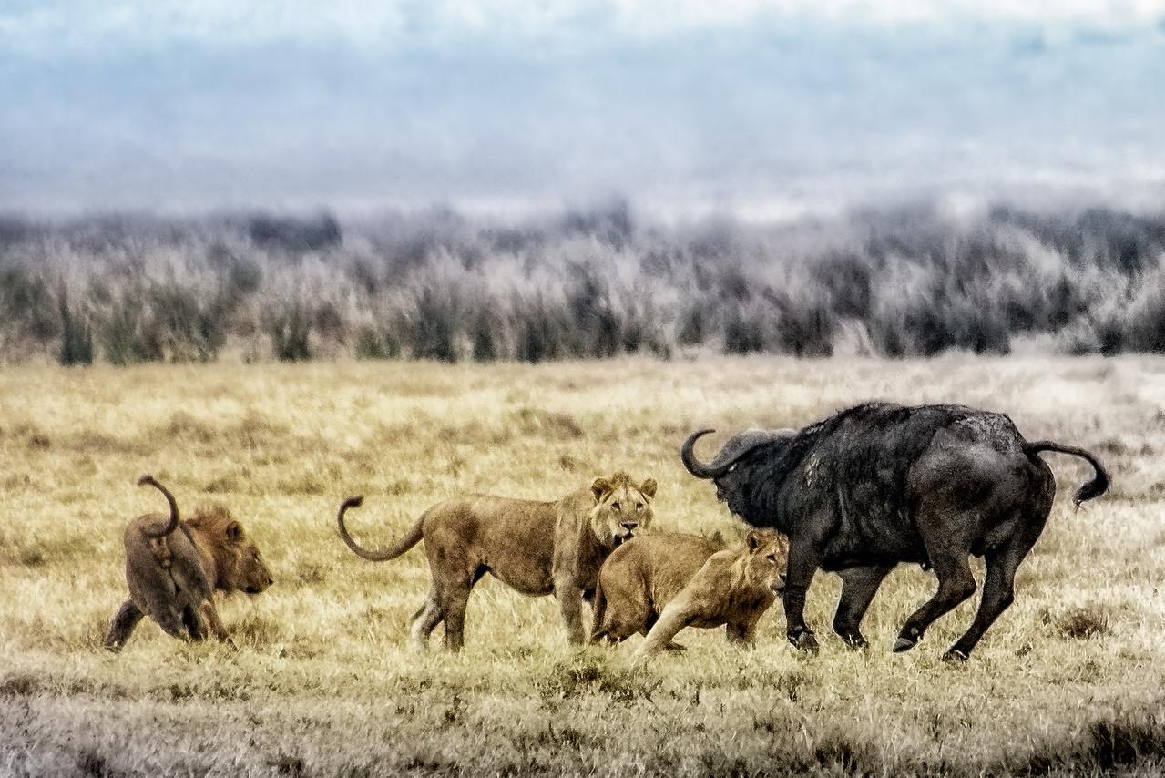 Young Lions vs. Cape Buffalo