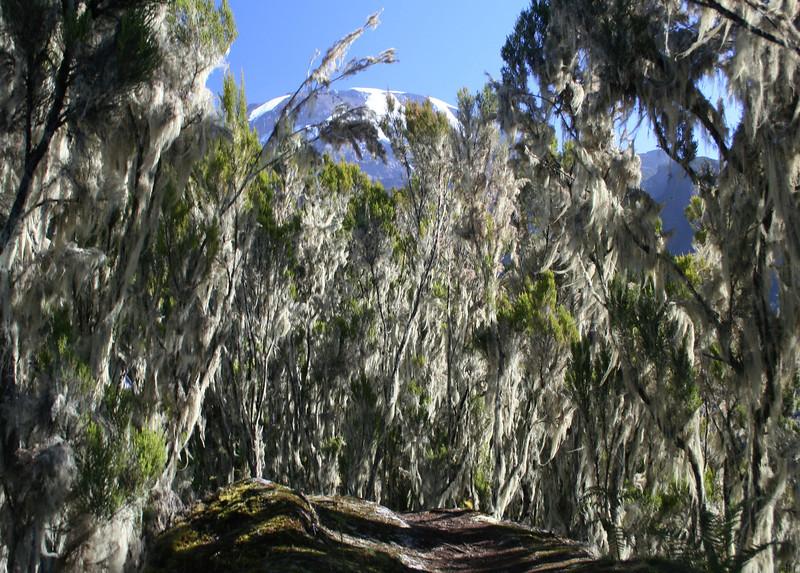"Walking through the heather ""trees"" - Kili in the background"