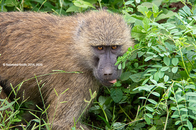 Baboon With Tongue Out