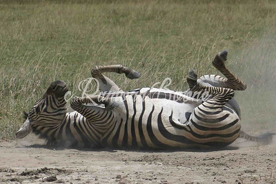 Zebra Sand Bathing