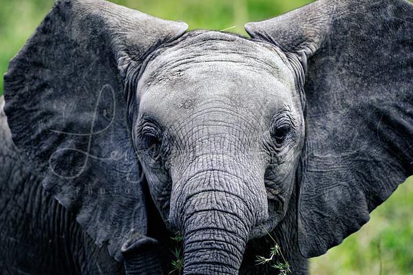 Baby of the Mara