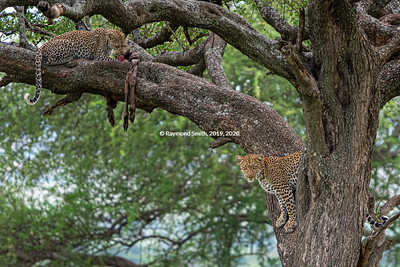 Two Leopards in a Tree.  Momma teaching to hunt.