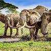 Elephants Playing in the Mud