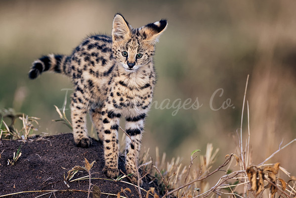 Mara serval cat 3