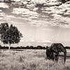 Elephant 1x2