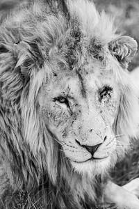 20170104_Lion_002