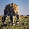 Grandma Leopard stare down