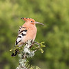 African Hoopoe, Addo Elephant National Park, South Africa