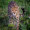 Cheetah Head On