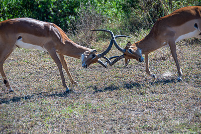 What are these Impala fighting about?  Females?  Territory?  Power?