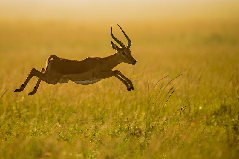 Male Impala leaping in Masai Mara Wildlife Refuge in Kenya