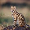Hide and Seek Serval Cat 2
