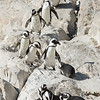 African Penguins, St Croix Island, South Africa