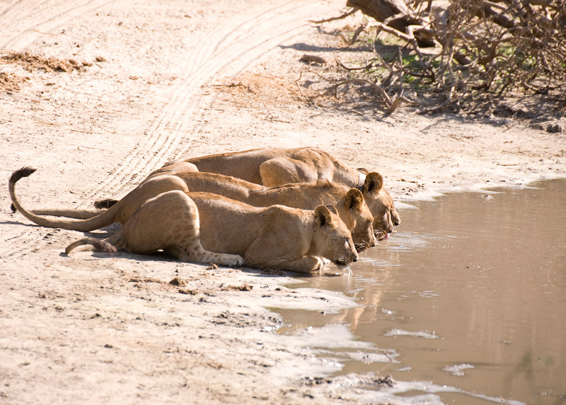 This group of four lionesses were drinking together at a small pond. They had recently killed a cape buffalo and drug it into the bushes where the cubs could eat it. Lionesses are often the group that goes out and hunts, while the male stays back, waiting.