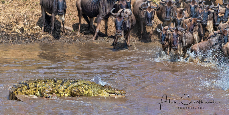 Crocodile vs Wildebeest