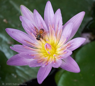 Waterlily and the bee