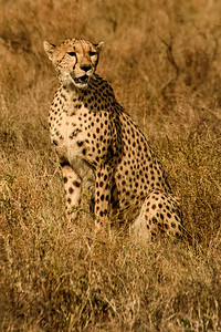 cheetah 8347
