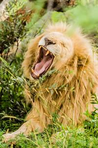20170104_Lion_014