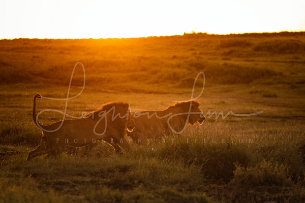 Lions First Light