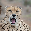 [Captive Animal] Cheetah at rehab facility, South Africa