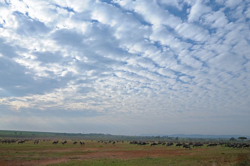 Wildebeest (or wildebeest, wildebeests or wildebai, gnu) herds in teh vast plains of Masai Mara, Kenya, Africa