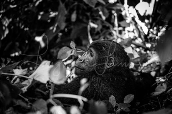 Bwindi Gorilla bnw