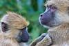 Grooming baboons