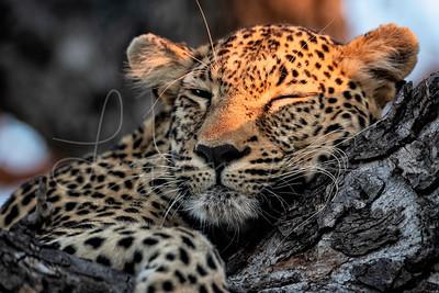 Leopard Nap time