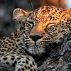 Leopard Nap time
